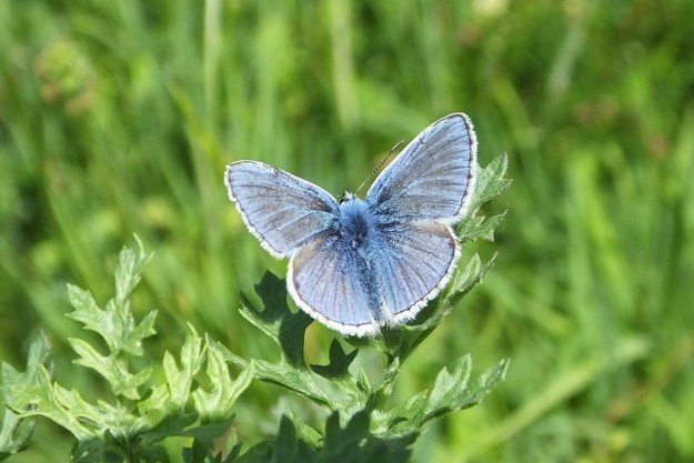 view of a male  Common Blue basking on grass with wings wide open