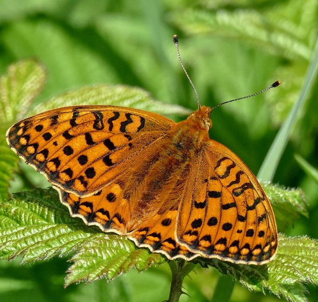 view of a Dark Green Fritillary basking with wings open showing full pattern of upper fore-wings
