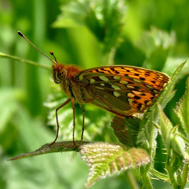 view of Dark Green Fritillary with wings half open showing pattern of under hind-wing