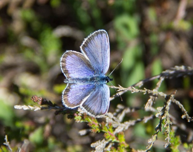 Blue butterfly with black edge to its wings on a stalk of heather