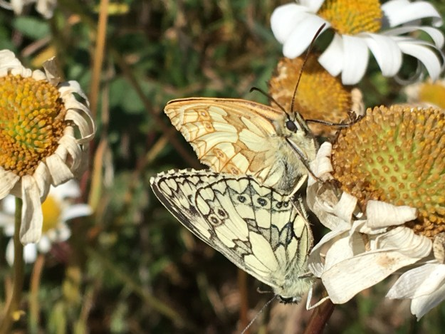 view of Marbled Whites mating
