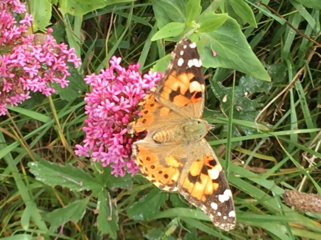 Orange, brown and whit butterfly on bright pink flower.