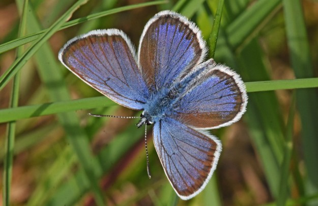 Blue butterfly with greay edges and a white fringe, on a piece of grass