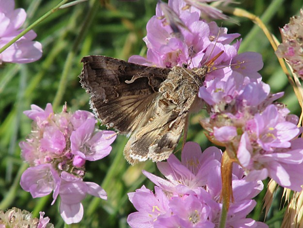 view of a Silver Y moth on Thrift