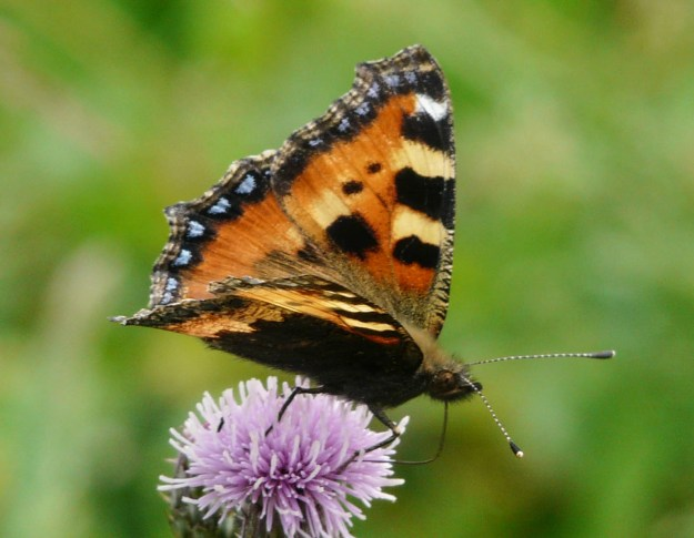 Colourful butterfly on a purple thistle flower