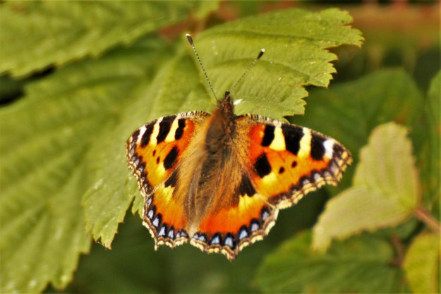 view of a Small Tortoiseshell resting on leaves showing fore and hind wing uppersides