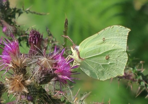 view of a Male Brimstone on thistles
