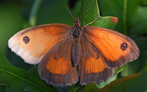 view of a Gatekeeper aberration resting with wings open wide showing a white patch on one upper fore-wing