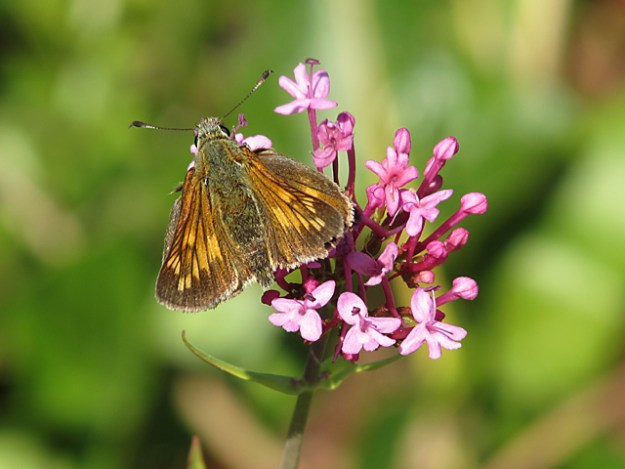 view of a Large Skipper nectaring on a pink flower