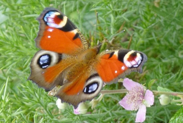 view of a Peacock nectaring with wings open wide on a pink flower