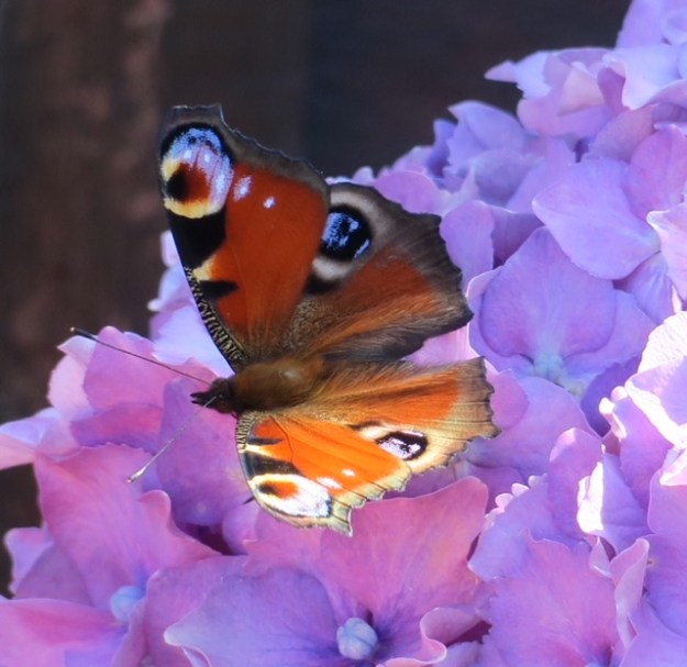 view of a Peacock with wings open resting on a hydrangea flower