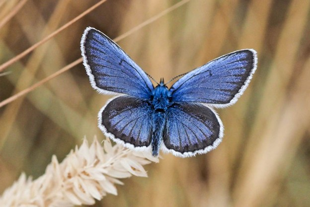 Blue butterfly with black line then white fringe round edges of wings.