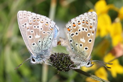 Side view of two butterflies on a seedhead in mating position