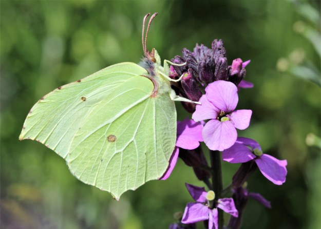 view of a Brimstone nectaring on Erysium flowers