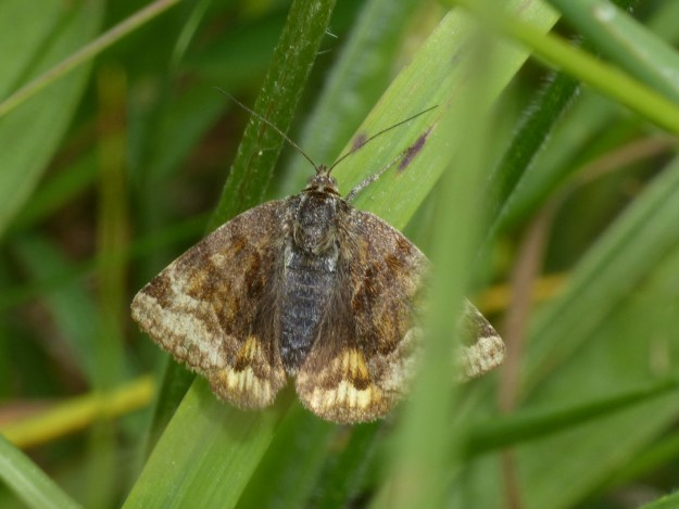 Brown moth with paler markings in among some grass