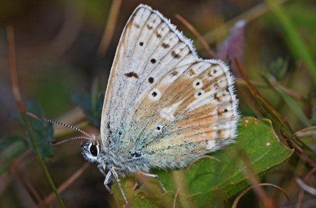 view of a aberrant Chalkhill Blue resting on a leaf