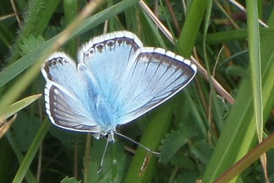 Pale blue butterfly with black borders and white fringes to its wings