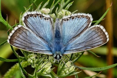 Chalky blue butterfly with brown edges to the wings and a white fringe