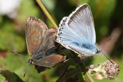 A brown and a pale blue butterfly joined together in mating