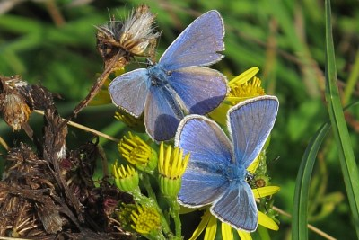 Two blue butterflies on a yellow flower