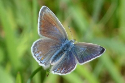 Browny blue butterfly with open wings