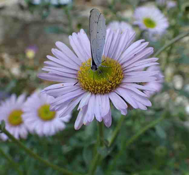 view of a Holly Blue on a Michaelmas Daisy