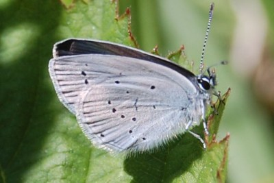 Butterfly showing pale blue underwings with small black spots