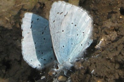 Two pale blue butterfles on mud.