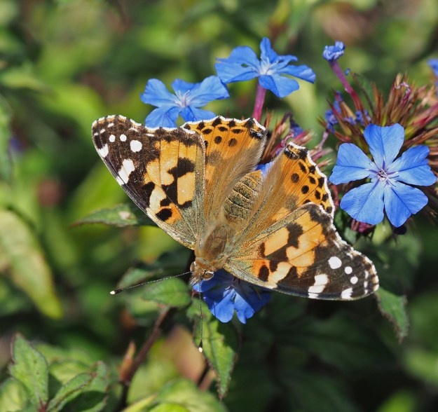 view of a Painted lady nectaring on a Plumbag flower with wings open wide