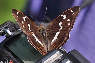 Very dark brown butterfly with white diagonal marks, on a camera