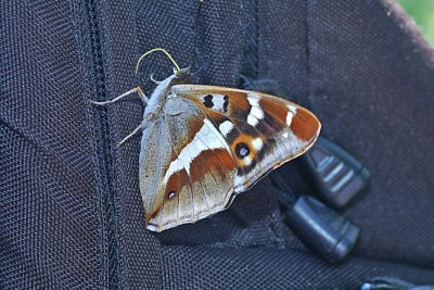Sideways view of large butterfly clinging to a jacket
