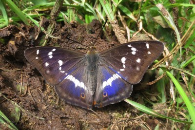 Large butterfly with mainly brown wings, thoug some purple, and white marks