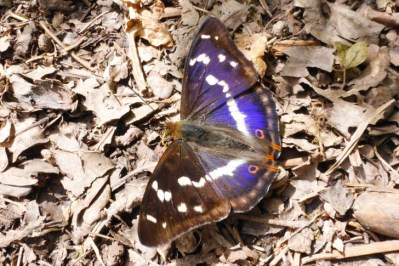 Butterfly with open wings. Brow shading to purple, with white markings