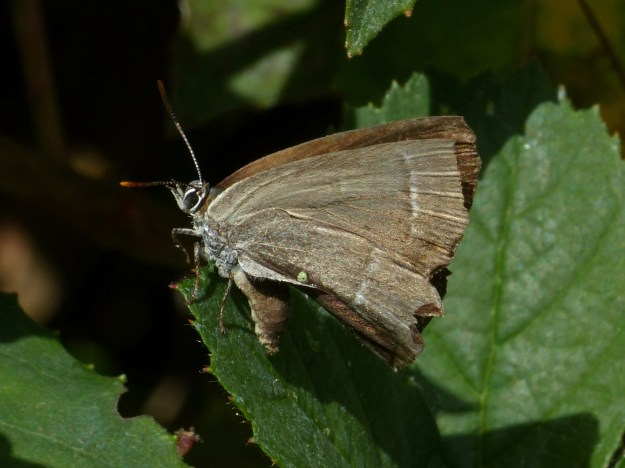 view of a Purple Hairstreak resting on a leaf dring out after being rescued from a paddling pool