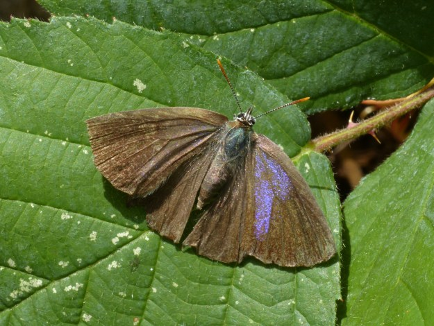 view of a Purple Hairstreak dring out on a leaf after being resued from a paddling pool. wings wide open