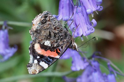 Underwing of a Red Admiral, showing brown near the body but black, red and white nearer the top of the wing