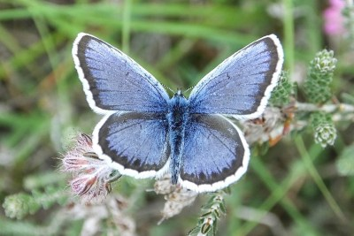 Blue butterfly with fringes of black then white