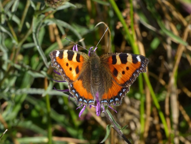 view of a Small Tortoiseshell with wings fully open