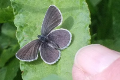 Grey butterfly with white fringes on a leaf being held by a finger
