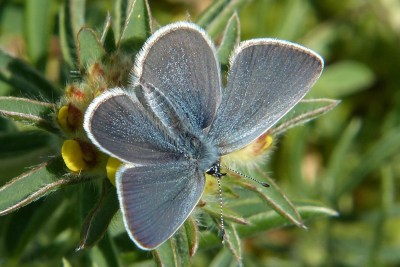 Butterfly with open grey wings which have a scattering of blue scales and a white frings