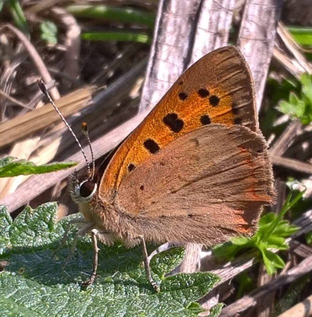side view of a Small Copper with wings partially closed resting on a leaf