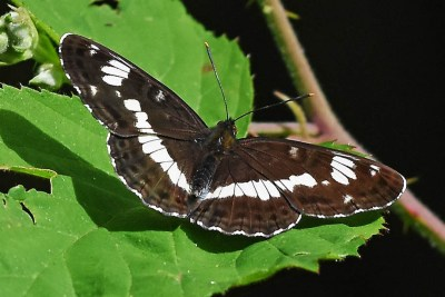 Very dark brown butterfly with white diagonal mark across its wings