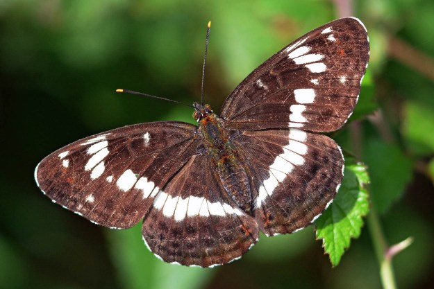 Large dark brown butterfly with white markings