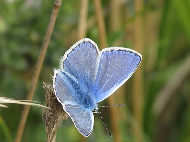 view of a Common Blue resting on a dead flower head
