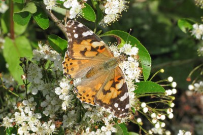 Orange butterfly with black and white markings and small blue spots.