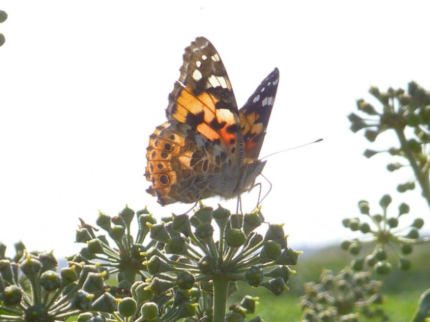 Orange, black and hwite butterfly on top of a cluster of ivy flowers