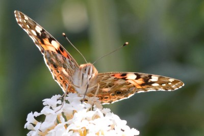 View of the underside of the open wings of a butterfly as it perches on a white flower