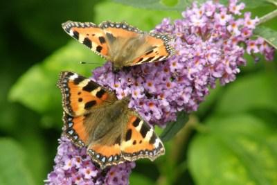 Two colourful, predominantly orange, butterflies on a purple flower stalk