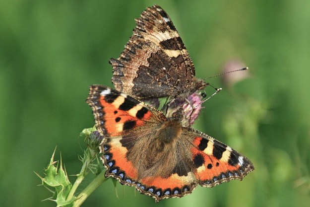 One butterfly with open wings and one with closed wings, showing the huge difference between them