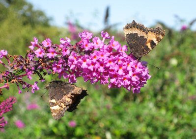 Two dull-looking butterflies on a bright pink buddleia flower spike